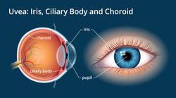 Our pupils are constantly dilating and contracting. By periodically refocusing, we can relax the muscles that control our pupils and give our eyes a break. (Image via AllAboutVision.com)