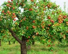 The tree that inspired a trillion-dollar brand (Image source: Harvest to Table)